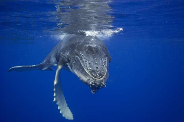 Humpback whale calf, 2006 (photo)
