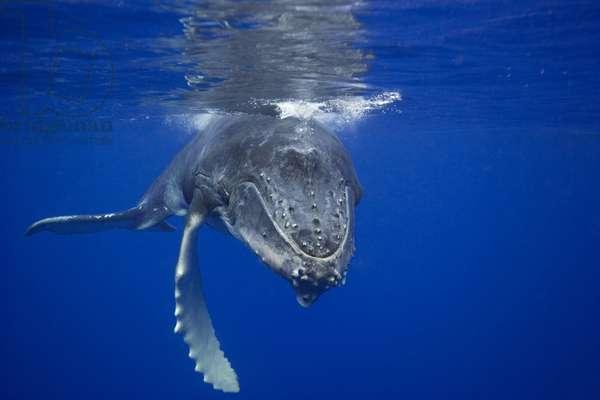 Humpback whale calf, 2006 (photo)