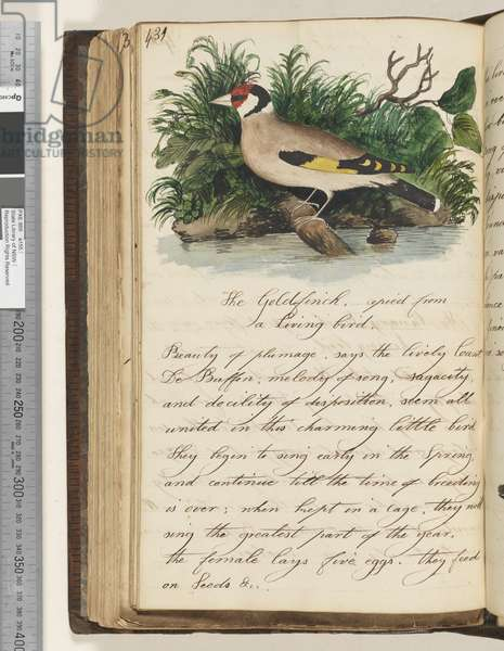 Page 431. The Goldfinch, copied from a living bird, 1810-17 (w/c & manuscript text)