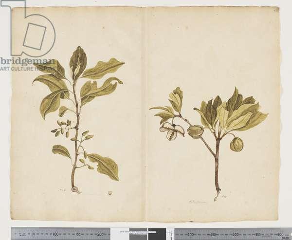 F.22 Nestegis apetala; Pittosporum bracteolatum, c.1790-95 (w/c & ink on paper)