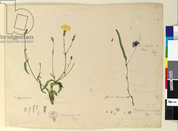 Page 157. Hardenbergia monophylla/Hardenbergia violacea; 158. Hypochaeris, c.1803-06 (w/c, pen, ink and pencil)