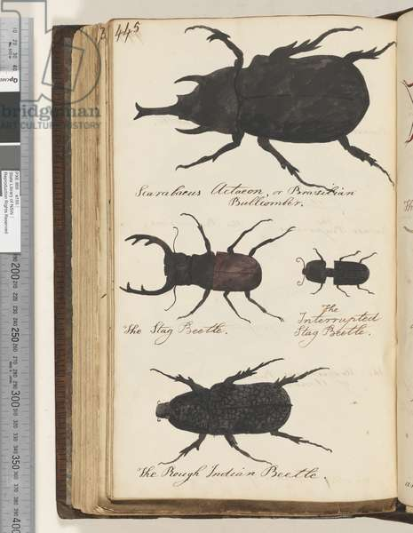 Page 445. Scarabaeus Actaeon, or Brazilian Bullcomber; the Stag Beetle; the Interrupted Stag Beetle; the Rough Indian Beetle, 1810-17 (w/c & manuscript text)