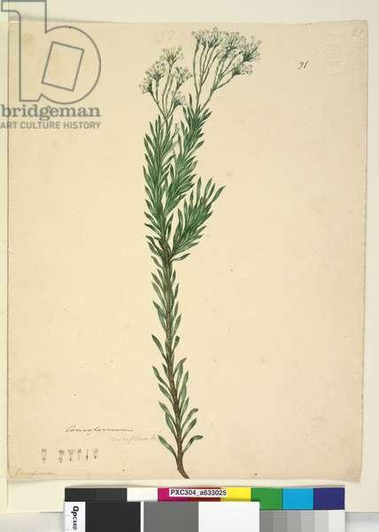 Page 21. Conospermum ericifolium, c.1803-06 (w/c, pen, ink and pencil)