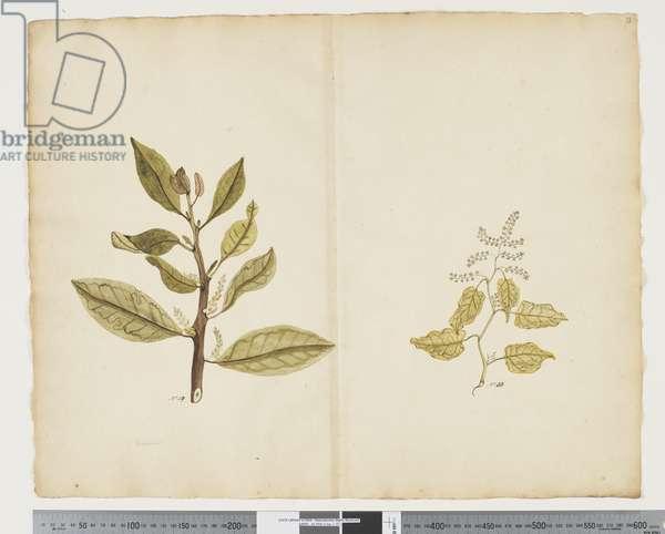 F.32 Excoecaria agallocha 'Melky tree', c.1790-95 (w/c & ink on paper)