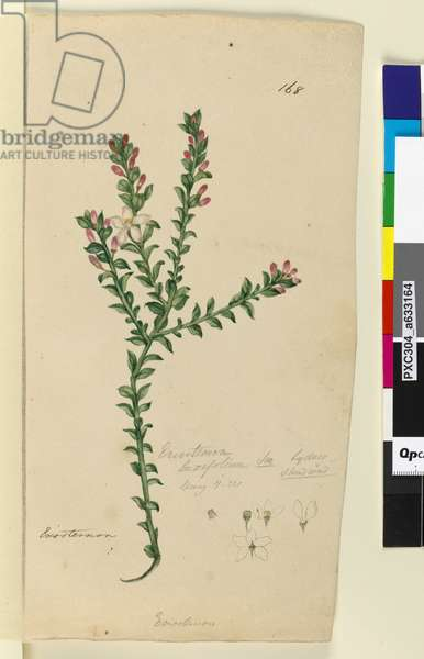 Page 168. Eriostemon buxifolium, c.1803-06 (w/c, pen, ink and pencil)
