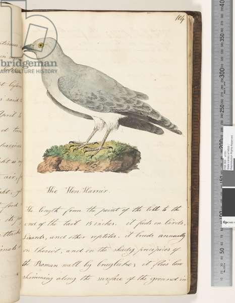 Page 104. The Hen Harrier, 1810-17 (w/c & manuscript text)