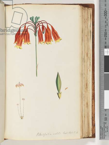 Page 111. Blandfordia nobilis Exot. Bot. t. 4. Christmas Bell (w/c)
