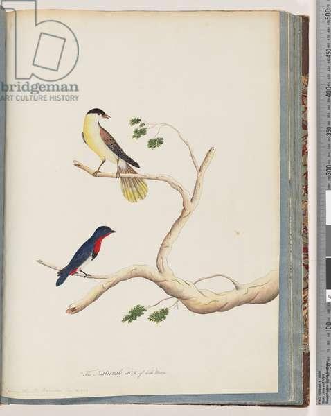 Page 70. 1. Unidentified bird. Bonnet Warbler (Watling 283/208) 2. Unidentified bird. Crimson-throated Manakin (w/c on paper)