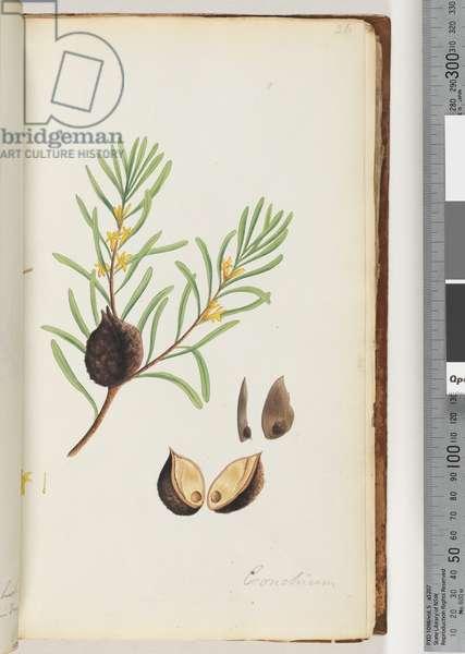Page 36. Conchium (w/c)