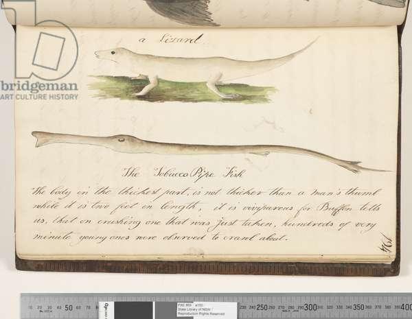 Page 194. A lizard; the Tobacco Pipe fish, 1810-17 (w/c & manuscript text)