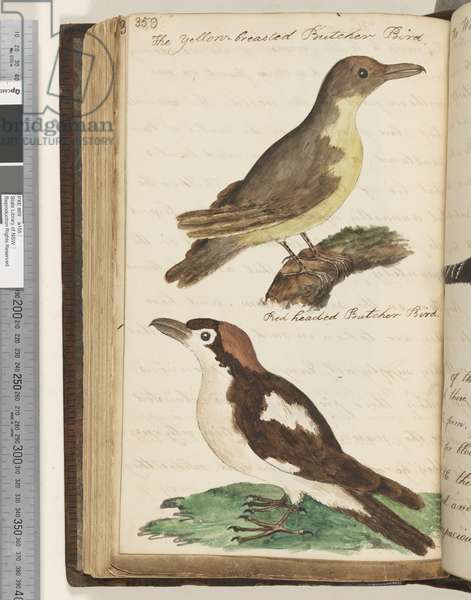 Page 359. The Yellow breasted Butcher Bird; Red Headed Butcher Bird, 1810-17 (w/c & manuscript text)
