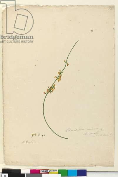 Page 75. Sphaerolobium vimineum, c.1803-06 (w/c, pen, ink and pencil)