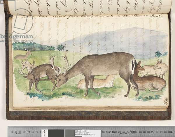 Page 392. Fallow deer, copied from living animals in the Phoenix Park, 1810-17 (w/c & manuscript text)
