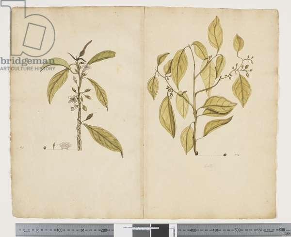 F.2 Myoporum obscurum; Celtis paniculate, c.1790-95 (w/c & ink on paper)