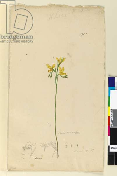 Page 136. Diuris aurea, c.1803-06 (w/c, pen, ink and pencil)