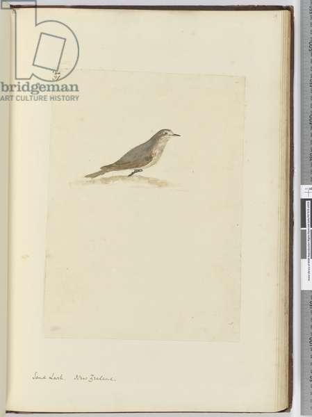 F.31 Sand lark. New Zealand, 1772-75 (w/c)