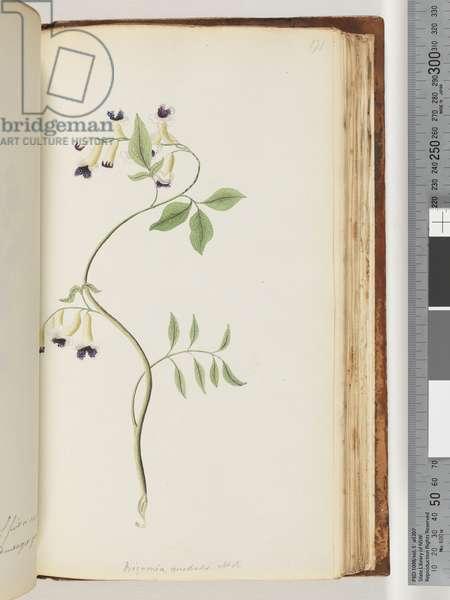 Page 171. Bignonia australis H.K (w/c)