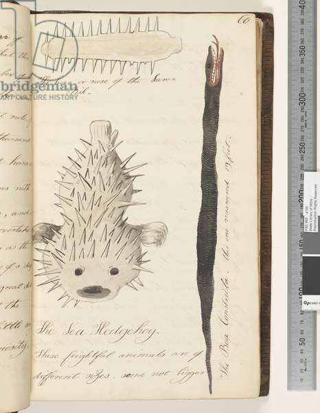 Page 60. The horn or nose of the Saw Fish; the Boa Constricta; the Sea Hedgehog, 1810-17 (w/c & manuscript text)