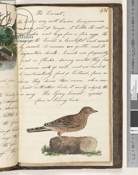 Page 432. The Gray Linnet, copied from a living bird, 1810-17 (w/c & manuscript text)