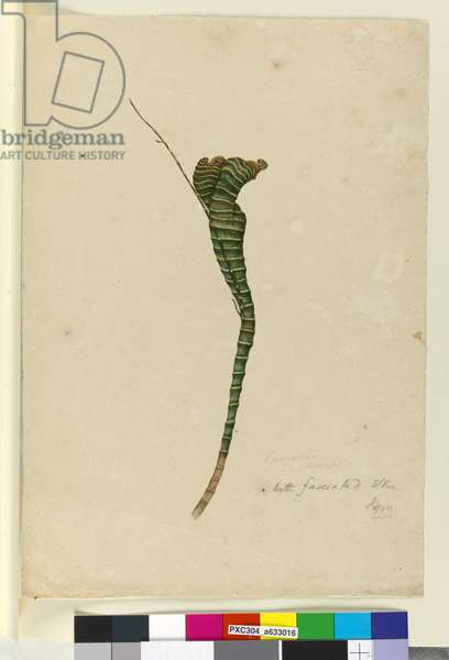 Page 11. Casuarina, c.1803-06 (w/c, pen, ink and pencil)