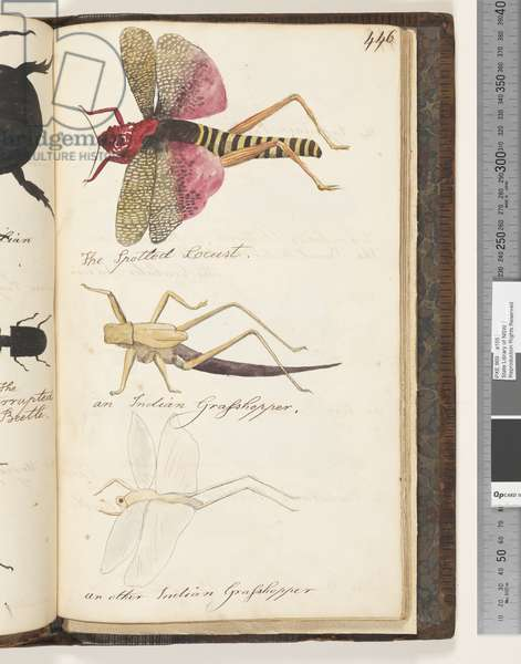 Page 446. The Spotted Locust; an Indian Grasshopper; an other Indian Grasshopper, 1810-17 (w/c & manuscript text)