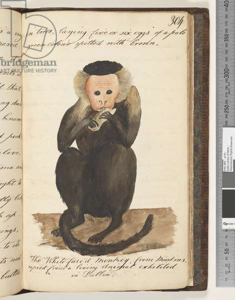 Page 304. The Whitefaced Monkey, from Madras, copied from a living Animal exhibited in Dublin, 1810-17 (w/c & manuscript text)