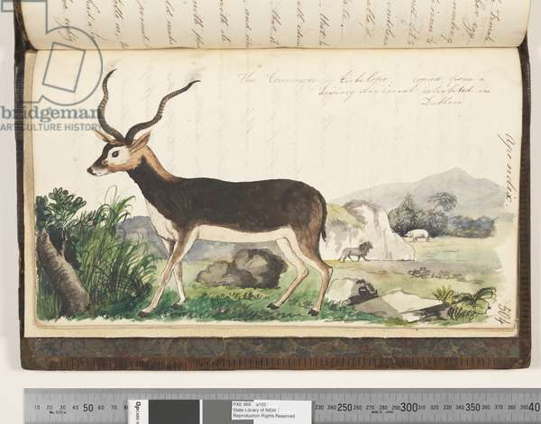Page 504. The Common Antelope, copied from a living animal exhibited in Dublin, 1810-17 (w/c & manuscript text)