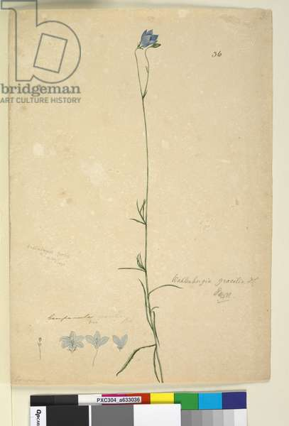 Page 36. Wahlenbergia gracilis, c.1803-06 (w/c, pen, ink and pencil)