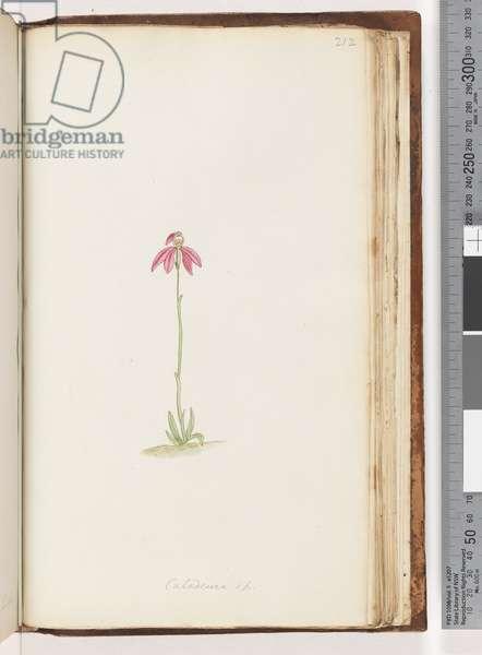 Page 212. Caladenia sp (w/c)