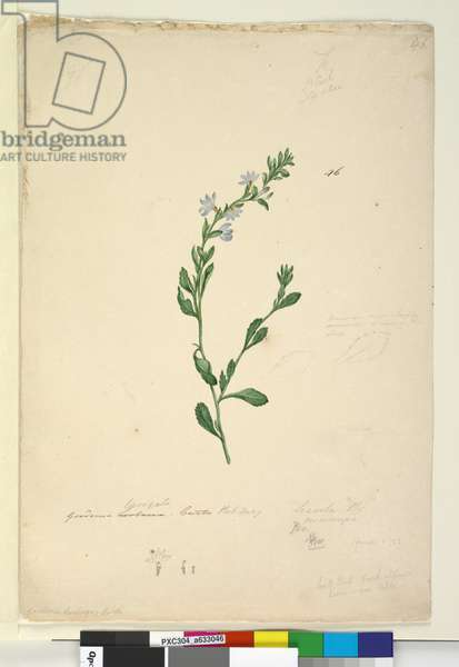 Page 46. Goodenia laevigata, c.1803-06 (w/c, pen, ink and pencil)