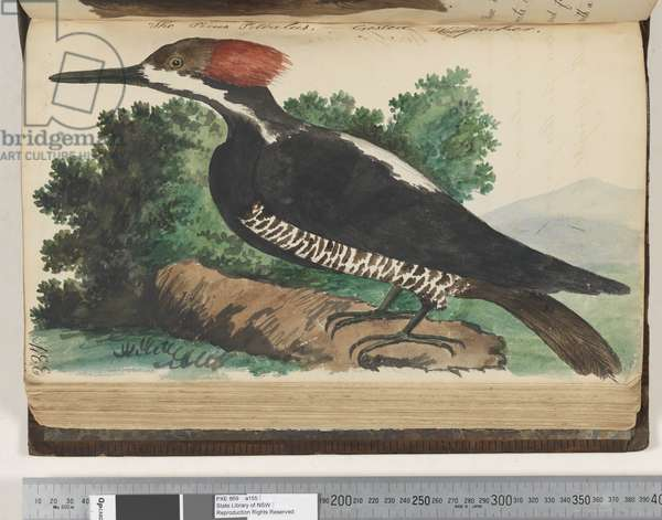 Page 337. The Picus Pileatus, Crested Woodpecker, 1810-17 (w/c & manuscript text)