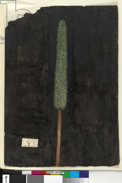 Page 56. Xanthorrhoea, c.1803-06 (w/c, pen, ink and pencil)