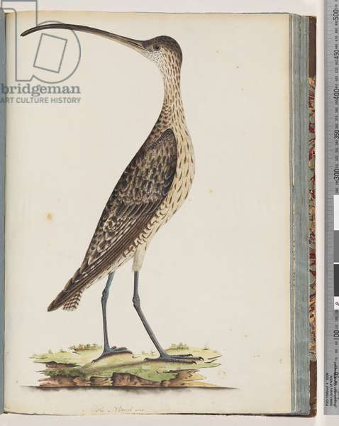 Page 78. Eastern Curlew  (w/c on paper)