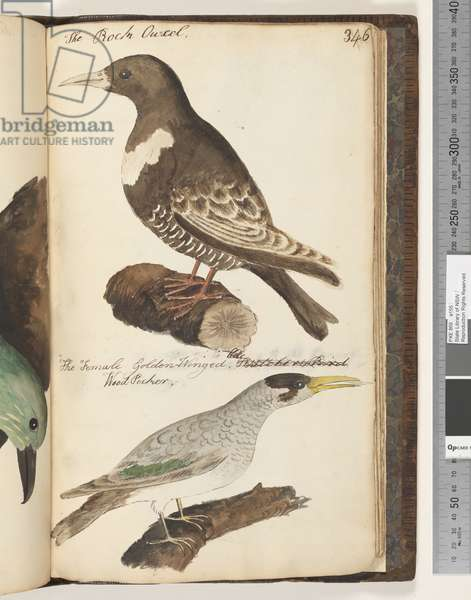 Page 346. The Rock Ouzel; the Female Golden Winged Wood Pecker, 1810-17 (w/c & manuscript text)