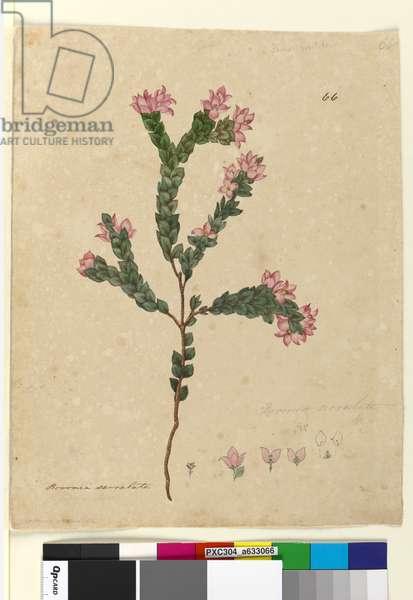 Page 66. Boronia serrulata, c.1803-06 (w/c, pen, ink and pencil)