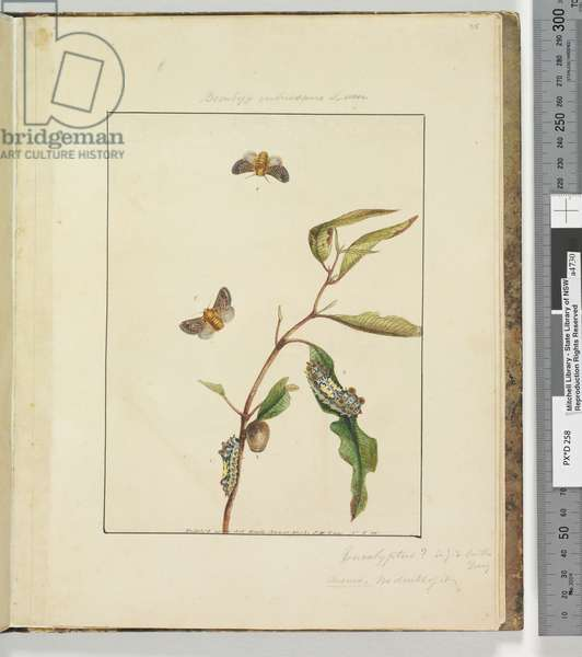 Page 35. Plate 9 Bombyx Vulnerans Lewin, 1803-04 (hand-coloured etching)