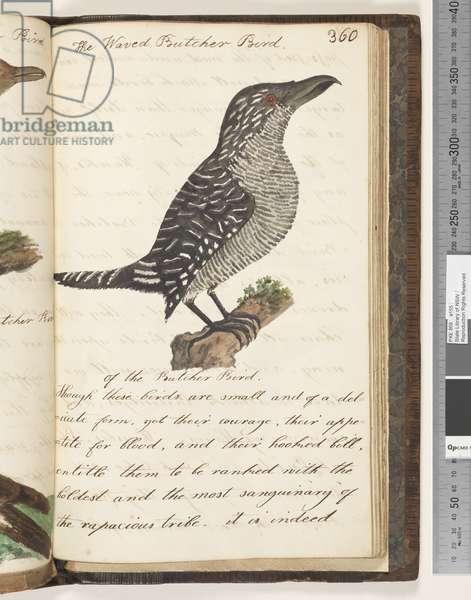 Page 360. The Waved Butcher Bird, 1810-17 (w/c & manuscript text)