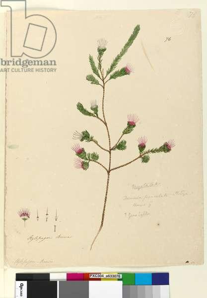 Page 76. Darwinia fascicularis, c.1803-06 (w/c, pen, ink and pencil)