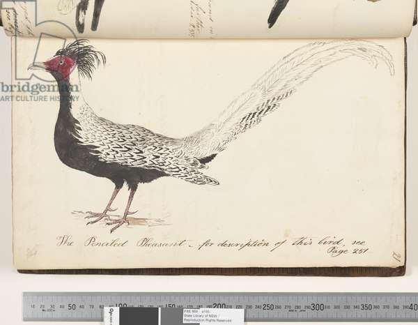 Page 21. The Penciled Pheasant, 1810-17 (w/c & manuscript text)