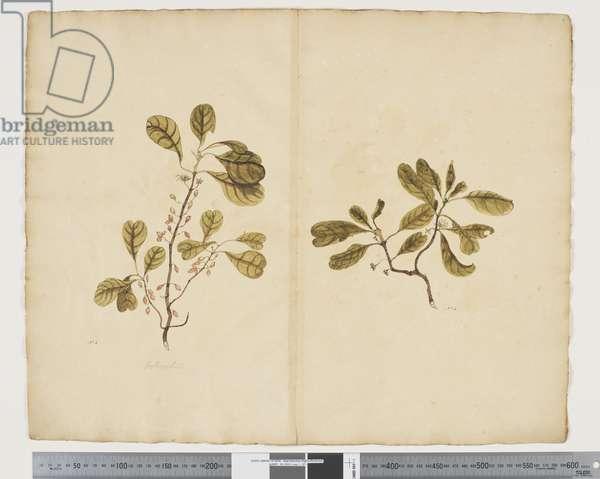 F.3 Coprosma baueri, male & female plants, c.1790-95 (w/c & ink on paper)