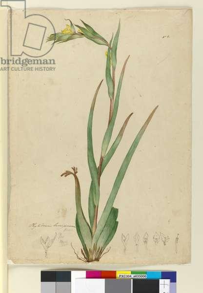 l. Phylidrum lanuginosum, c.1803-06 (w/c, pen, ink and pencil)