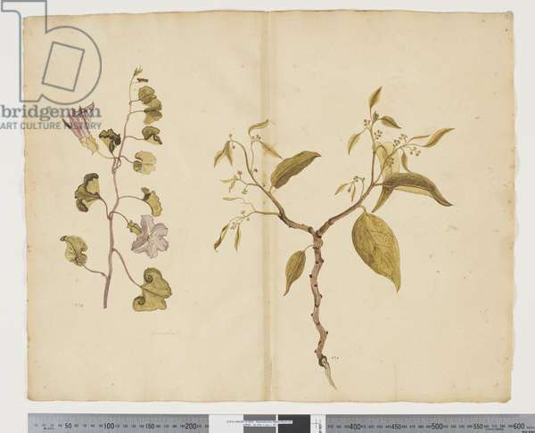 F.13 Ipomea Pes, caprae; Celtis paniculata, c.1790-95 (w/c & ink on paper)