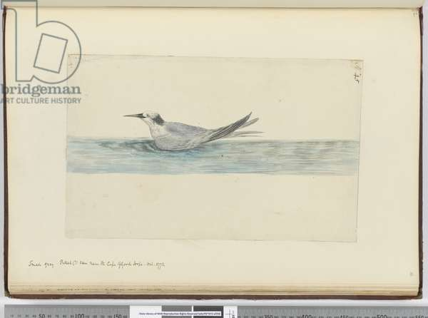 F.45 Small grey petrel(?) seen near the Cape of Good Hope. Oct. 1772, 1772-75 (w/c)