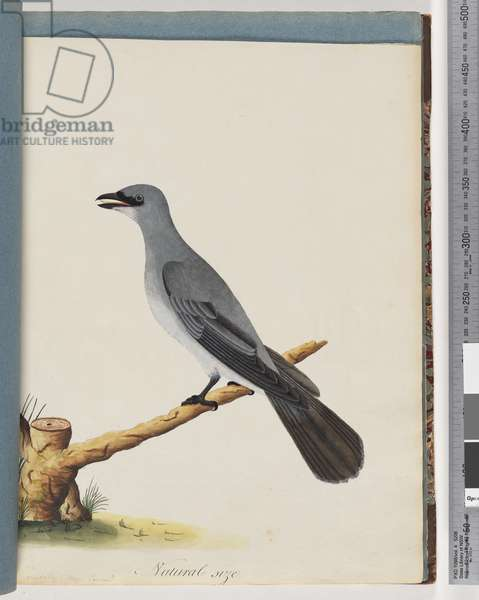 Page 38. Unidentified bird, Probably a large lanius (w/c on paper)