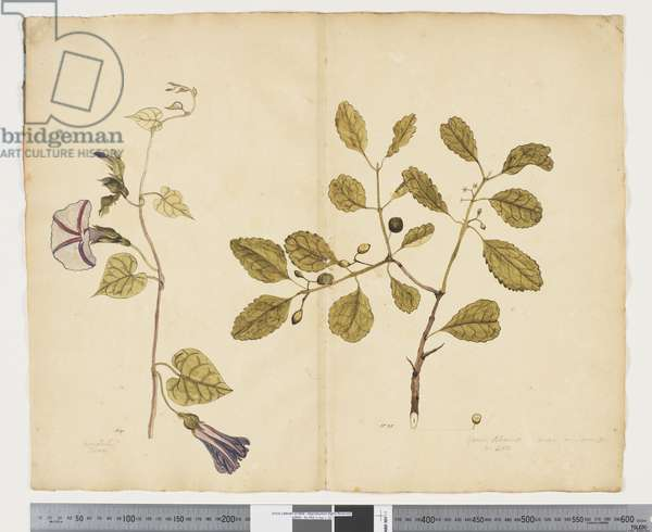 F.24 Ipomoea congesta; Elaeodendron curtipendulum, c.1790-95 (w/c & ink on paper)