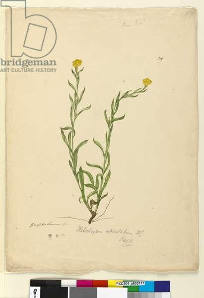 Page 119. Helichrysum apiculatum/Chrysocephalum apiculatum, c.1803-06 (w/c, pen, ink and pencil)
