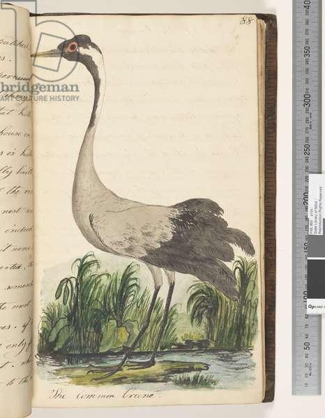 Page 88. The Common Crane, 1810-17 (w/c & manuscript text)