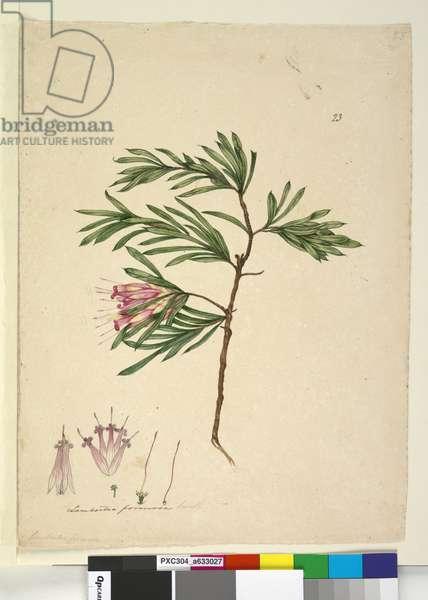 Page 23. Lambertia formosa, c.1803-06 (w/c, pen, ink and pencil)