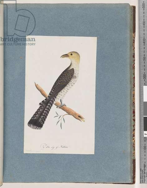Page 52. Pallid Cuckoo (probably) (w/c on paper)
