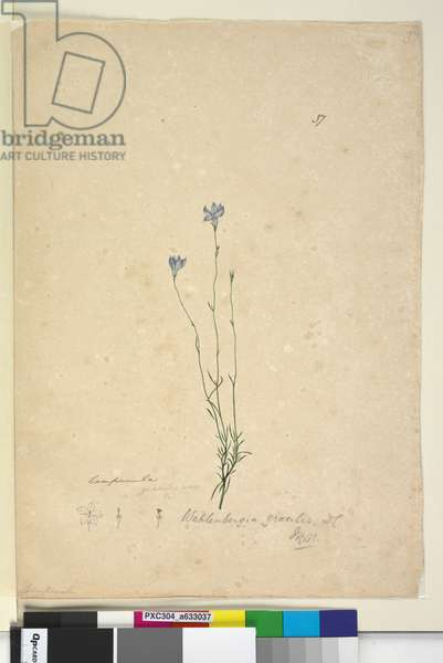 Page 37. Wahlenbergia gracilis, c.1803-06 (w/c, pen, ink and pencil)